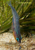 1S22-575z  Male Threespine Stickleback shaping nest by pushing plant materials with it mouth, mating colors showing bright red belly and blue eyes,  Gasterosteus aculeatus,  Hotel Lake British Columbia
