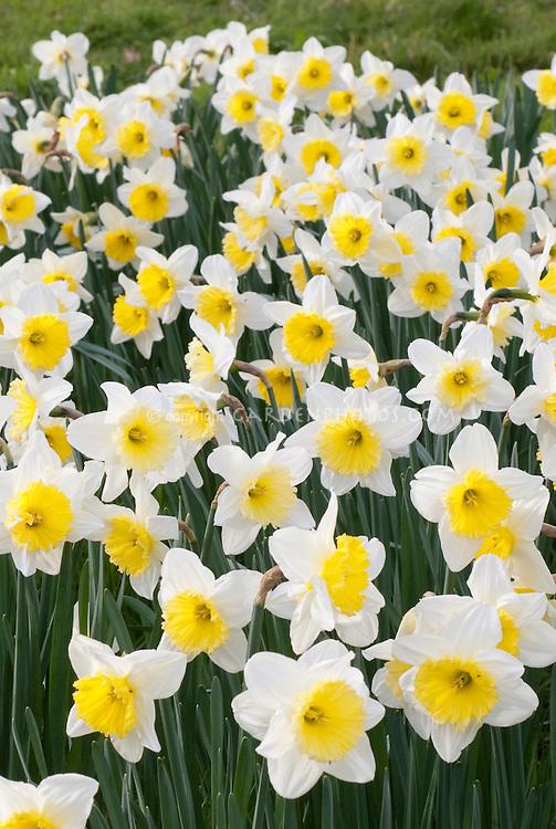 Daffodil Ice Follies (Narcissus) massed