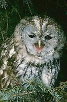 Waldkauz, rufend, schreiend, Strix aluco, Wald-Kauz, Kauz, Käuzchen, tawny owl