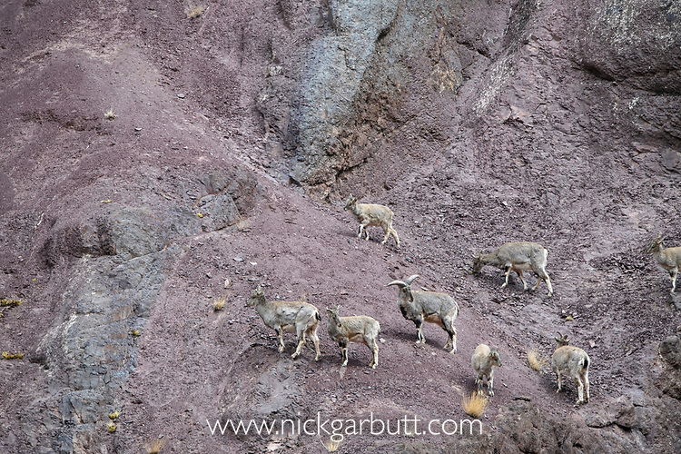 Herd of Himalayan blue sheep or bharal (Pseudois nayaur), also called the naur. Climbing on steep slopes. Himalayas, Ladakh, northern India.