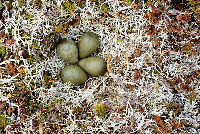 Nest and eggs of the Bar-tailed Godwit (Limosa lapponica). Yukon Delta National Wildlife a refuge, Alaska. June.