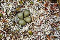 Nest and eggs of the Bar-tailed Godwit (Limosa lapponica). Yukon Delta National Wildlife a refuge, Alaska. June.