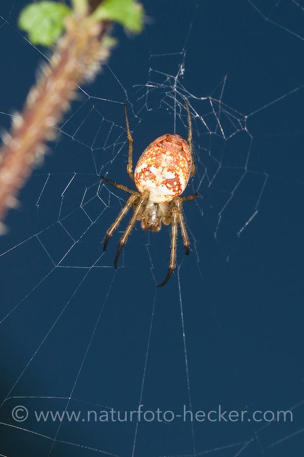 Herbstspinne, Weibchen lauert im Netz, Herbst-Spinne, Metellina cf. segmentata, Meta cf. segmentata, Autumn spider, Autumn-spider, Lesser Garden Spider