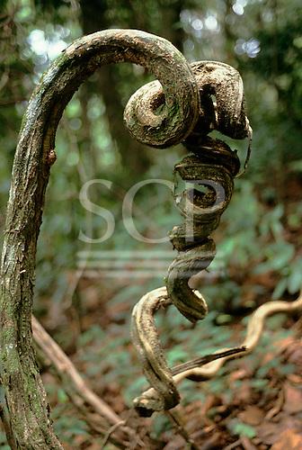 Amazon forest, Brazil. Tropical rainforest liana or creeper in corkscrew form.