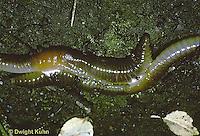 1Y02-008z  Earthworm - nightcrawlers mating - Lumbricus terrestris