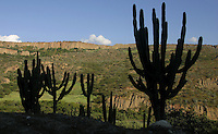 Large cactuses growing on a hillside. Typical landscape around the city of Merida, in the Andean mountains.