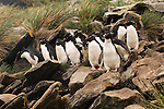 Rockhopper penguins on West Point Island in the Falkland Islands.