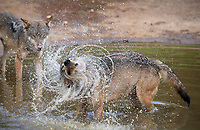 """BNPS.co.uk (01202) 558833<br /> Pic: ZacharyCulpin/BNPS<br /> <br /> Wolf Cool <br /> <br /> SEQUENCE 2 of 6<br /> <br /> Wild swimming - a pack of European wolves enjoy a cooling dip at Longleat as temperatures<br /> start to rise ahead of a predicted heatwave over the weekend.<br /> The wolves, which were once native across the UK, were introduced to their Wiltshire<br /> woodland home in 2019.<br /> Since arriving at Longleat the pack has grown significantly with the arrival of two sets of<br /> cubs.<br /> """"The wolves actually love the water, especially during the summer, and will spend quite a lot<br /> of time splashing about in their pond and using it as somewhere to cool down,"""" said keeper<br /> Ian Turner."""