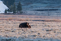 Grizzly Bears Mating in Yellowstone National Park