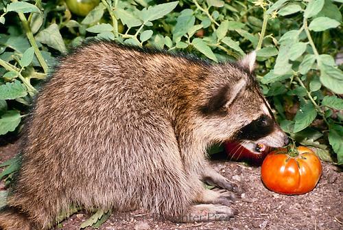 Raccoon, Procyon lotor, eating tomato from summer vegetable garden, Missouri USA