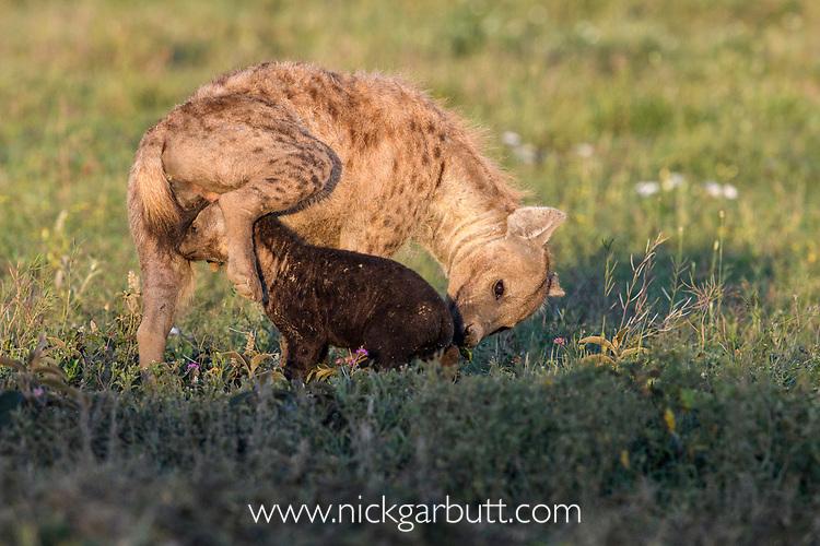 Female spotted hyena (Crocuta crocuta) cleaning / grooming young outside den. Short grass plains near Ndutu,  Ngorongoro Conservation Area / Serengeti Tanzania.