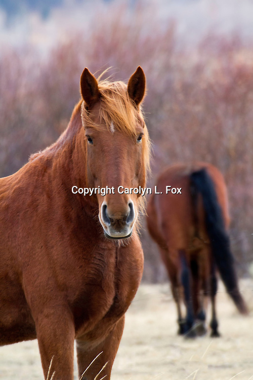 A chestnut horse stands in a field.