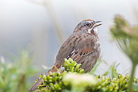 Song sparrow sings on Amaknak Island, Dutch Harbor, Aleutian Islands, Alaska