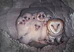 Barn owls and owlets, Washington