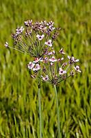 Schwanenblume, Wasserliesch, Blumenbinse, Doldige Schwanenblume, Wasserviole, Butomus umbellatus, flowering rush, grass rush, water gladiolus, Blume des Jahres 2014