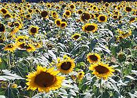 Stock photo: Sunflowers farm in country side of Georgia USA.