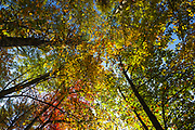 Canopy of hardwood forest in the Lake Massabesic watershed in Auburn, New Hampshire during the autumn months.