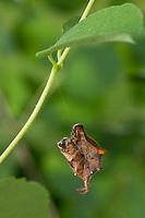 Fliederspanner, Flieder-Spanner, Raupe frisst an Schneebeere, seilt sich ab, hängt an Faden, Apeira syringaria, Hygrochroa syringaria, Pericallia syringaria, lilac beauty, caterpillar, l'Ennomos du lilas, Spanner, Geometridae, looper, loopers, geometer moths, geometer moth