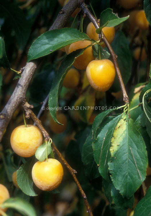 Persimmons Diospyrus many golden orange ripe fruits along tree branch and leaves