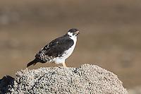Augur Buzzard in the Bale Mountains of Ethiopia