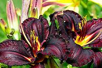 Dark purple lily