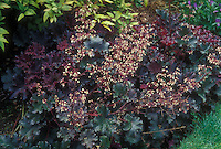 Heuchera Purple Petticoats in bloom
