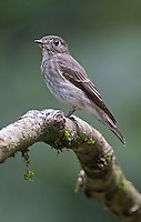 A gray-streaked flycatcher photographed in Borneo.