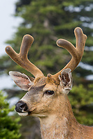 Columbian Black-tailed Deer buck.  Olympic National Park, WA.  July.