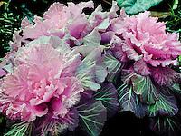 Ornamental cabbage, full spectrum photo