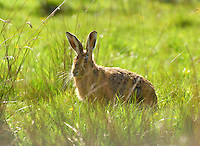 Hare, Chipping, Lancashire.