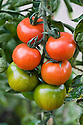 Tomato 'Harbinger', early September. A traditional English cordon variety, first introduced in around 1910.