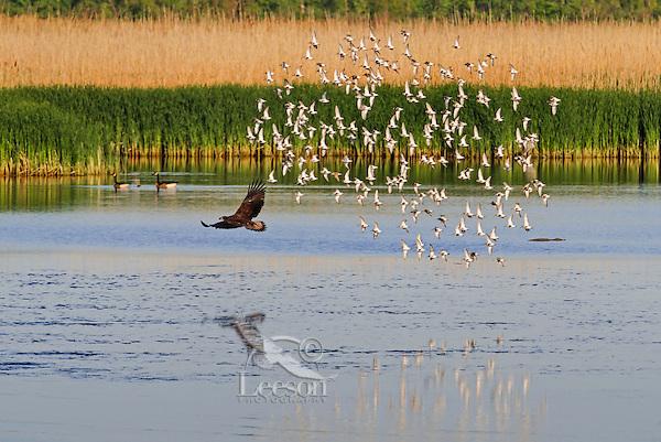 Bald Eagle (Haliaeetus leucocephalus) immature disturbs flock of migrating dunlins (Calidris alpina) in a freshwater Lake Erie marsh, spring, Ottawa NWF, Ohio, USA.