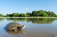 Red-eared Slider (Trachemys scripta elegans), adult in lake, Dinero, Lake Corpus Christi, South Texas, USA