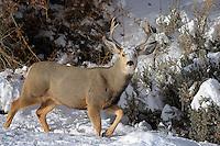 Mule Deer Buck, Cody, Wyoming