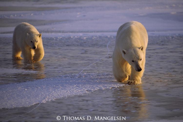 Two polar bears walk across the ice.