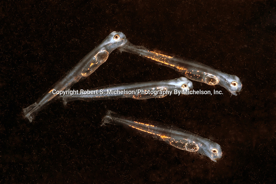 2 day old Striped Bass Larvae 4 shot swimming right 3:1 Macro photograph.  Each juvenile is about 3mm in length