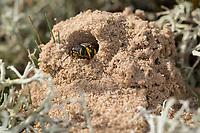 Kotwespe, am Nest, Nesthaufen, Mellinus arvensis, Grabwespe, field digger wasp