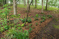 Mulched garden bed in shade with carex, helleborus, trees, woodlands, deer fencing