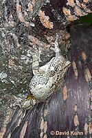 0303-0904  Eastern Gray Treefrog (Grey Tree Frog), Hyla versicolor  © David Kuhn/Dwight Kuhn Photography