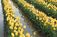 Rows of yellow tulips reflected in mud puddle, Mount Vernon, Skagit Valley, Skagit County, Washington, USA