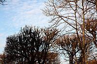 The top of the majestic bare tree of the Luxembourg garden, in the winter, with their characteristic pruning. Fluffy clouds in the sky on the background (Paris, 2010).<br /> <br /> Le cime dei maestosi alberi spogli dei giardini di Lussemburgo, con la loro caratteristica potatura. Nuvole a pecorelle nel cielo sullo sfondo (Parigi, 2010).