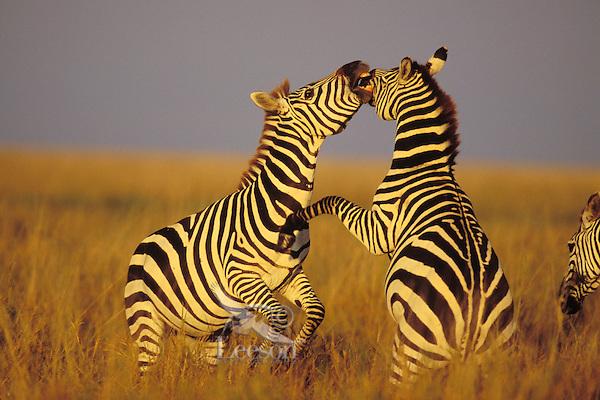 3MB778  Burchell's Zebra or Plains Zebra stallions.  Dominance behavior.  Serengeti National Park, Tanzania.  May.