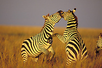 3MB778  Burchell's Zebra or Plains Zebra stallions.  Dominance behavior.  Serengeti National Park, Tanzania.  May.