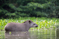 Also known as the Brazilian tapir, this is South America's largest native land mammal.
