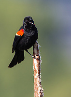 The Washington Park Arboretum teems with Red-winged Blackbirds.