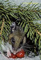MU12-093z   Deer Mouse - eating berries - Peromyscus maniculatus