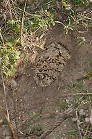 Gemeine Wespe, Gewöhnliche Wespe, Nest, Wespennest, vom Dachs ausgegrabenes Erdnest, Bodennest, Vespula vulgaris, Paravespula vulgaris, common wasp, yellowjacket, wasps' nest, vespiary