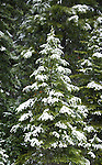 Spring snow falling on young fir tree in Bitterroot National Forest in Montana