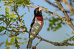 Male rose-breasted grosbeak singing in a burr oak