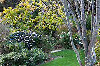 Autumn mixed border with Fringe Tree (Chionantus virginicus), flowering shrub (Hydrangea), graases, roses, and perennials at edge of lawn